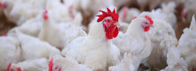 probiotics prebiotics synbiotics poultry_application of probiotic, prebiotics and synbiotics in poultry