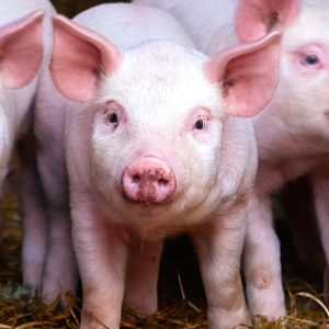 Intestinal health and AMR in pigs_main pic1
