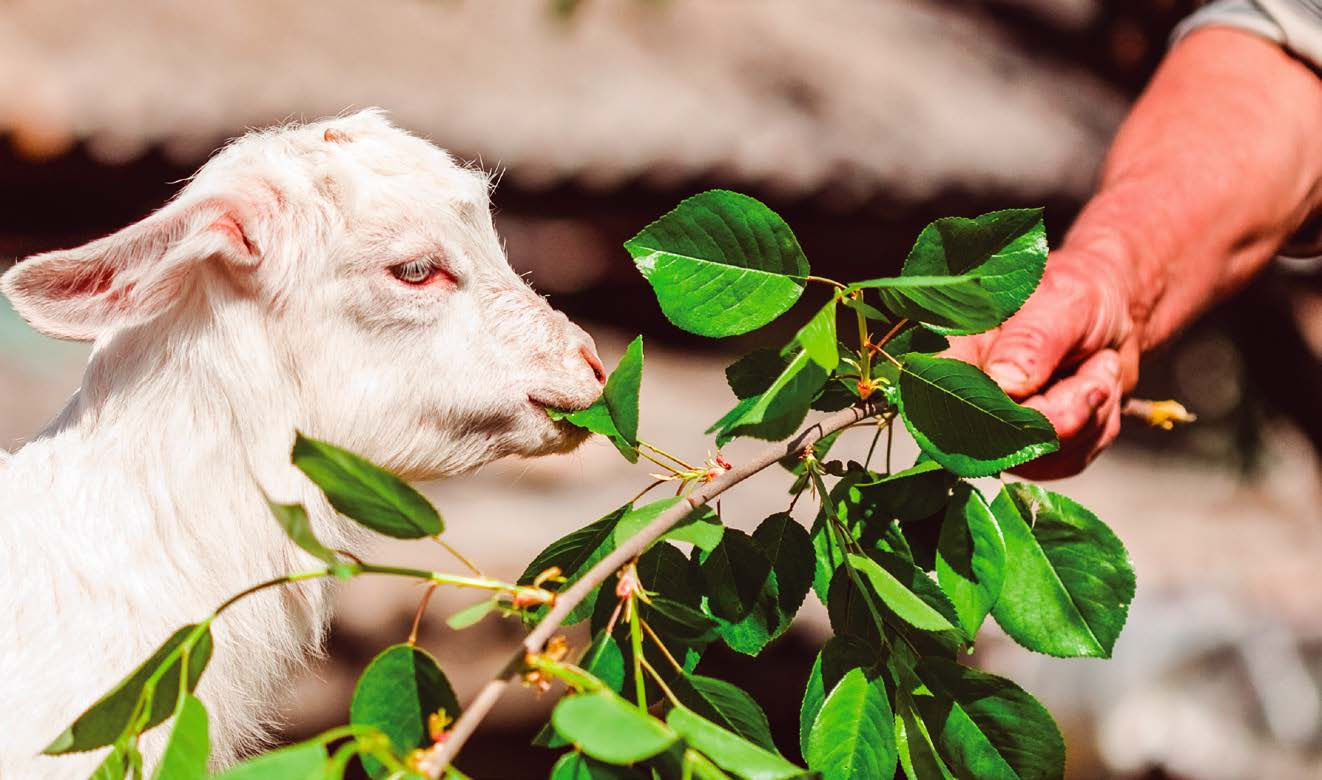 goat eating leamon tree leaf