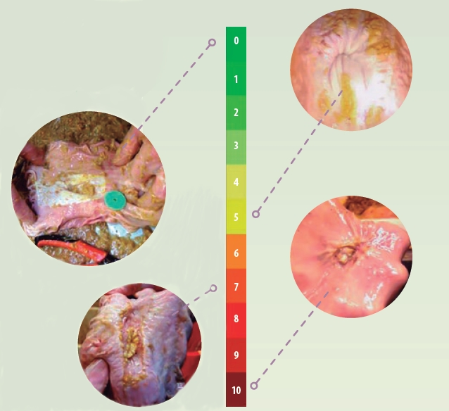 Scoring system for gastric ulcers of pigs