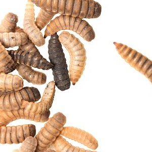 black soldier fly larvae - Using black soldier fly larvae as a source of protein
