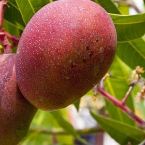mango feed animals- the use of mago and its byproducts to feed animals